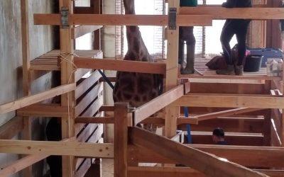 Parage des girafes